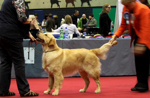Golden Motions | Golden Retriever Zucht